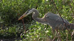 Great Blue Heron swallowing a snake in a marsh