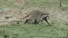 Raccoon walking in Florida wetlands
