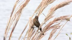 Song sparrow perches near lake