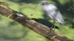 Little Blue Heron on a log in Florida swamp