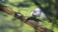 Little Blue Heron fishing in Florida swamp