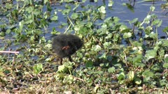 Common Gallinule chick grooming its feathers