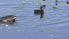 Common Gallinule with its chicks in a pond