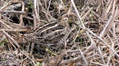 Wilsons Snipe bird in Florida marsh