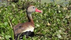 Black-bellied Whistling-Duck in Florida wetlands