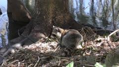 young raccoon looking for food in Florida wetlands