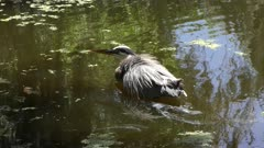 Great blue heron cooling off in the water