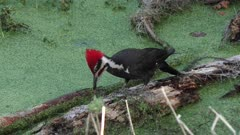 Pileated Woodpecker feeds in Florida wetlands