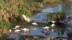 Roseate Spoonbills and White Ibises in a pond