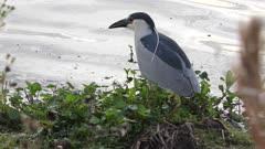 Black-crowned Night-Heron fishing