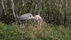 great blue heron downing a snake