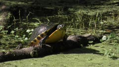 turtle falls down from a log in a swamp