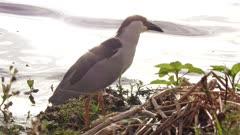 Black-crowned Night-Heron near lake