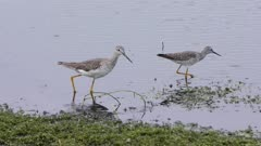 Greater Yellowlegs and Lesser Yellowlegs in the pond