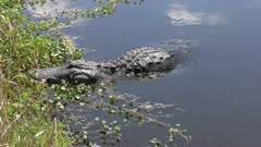 Large American alligator feeds