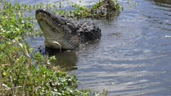 large bull alligator mating call
