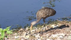 Limpkin feeds on mussel near lake