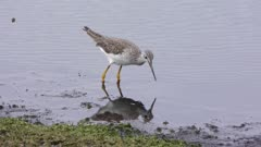 Greater Yellowlegs feeds in the pond