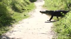 Large american alligator crossing a trail