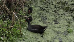 Common Gallinule feeds its chicks
