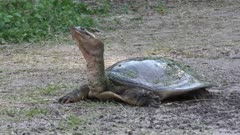 Softshell Turtle in Florida wetlands