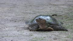 Softshell Turtle walking