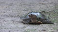 Softshell Turtle walking