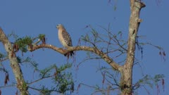 Red Shouldered Hawk perches