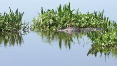 large American alligator in a lake
