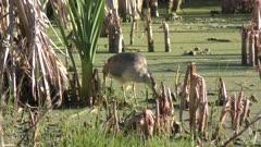 Black crowned Night Heron in the swamp