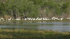 wading birds in lake