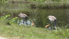 Sandhill Cranes with two chicks