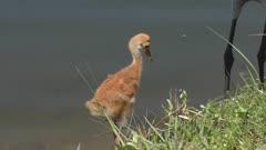 Sandhill crane chick drinking water