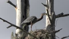 adult and a baby great blue herons in a nest