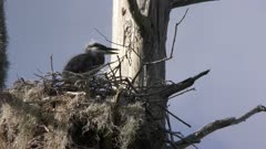 great blue heron chick in the nest calling