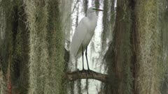great egret in the breeding plumage