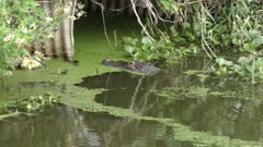 american alligator fishing in the swamp