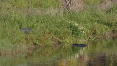 two large alligators fight