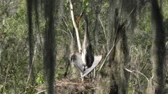 great blue heron basking in the nest