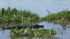 large american alligator in a lake
