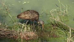 limpkin feeds on apple snails