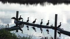 Double crested Cormorants at sunset
