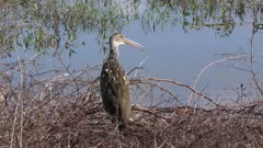 limpkin calls in wetlands