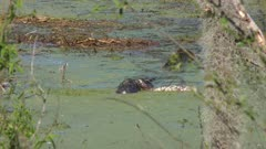 alligator eating an armadillo remains in the swamp