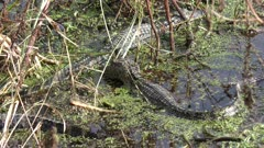 baby American alligators basking and feed