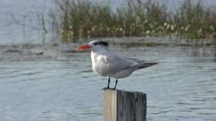 Caspian Tern and anhinga perching on a pole