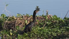 anhinga downing a fish in swamp