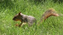 fox squirrel eating a peach