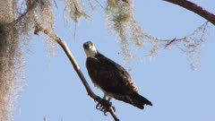osprey perches on a branch