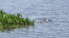 American Alligator jumped and caught a fish